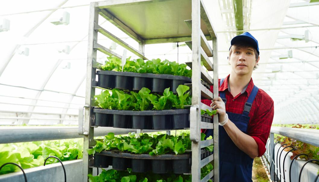 Norske bønder vil ha et stort behov for arbeidskraft i ukene og månedene som kommer. BAMA/Gartnerhallen mener det må en nasjonal dugnad til her også, siden grensene er stengt for utenlandsk arbeidskraft.